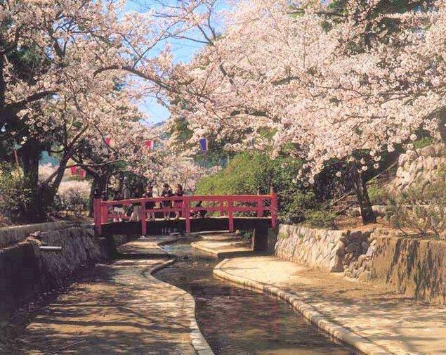 【桜・見ごろ】小浜公園