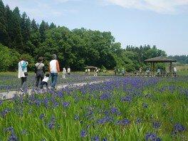 柏崎・夢の森公園 カキツバタまつり