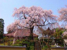 昌建寺の桜