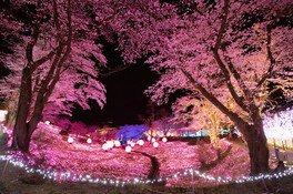 さがみ湖リゾートプレジャーフォレストの桜