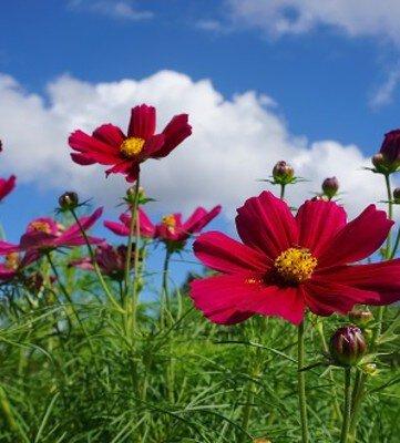 【花・見ごろ】しまね花の郷 コスモス