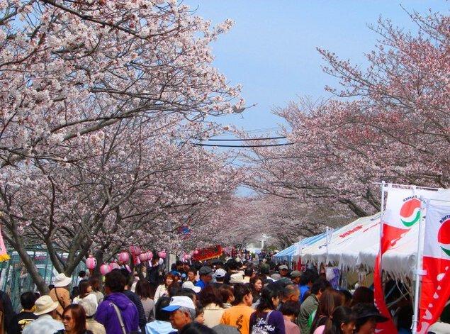 【桜・見ごろ】名張中央公園
