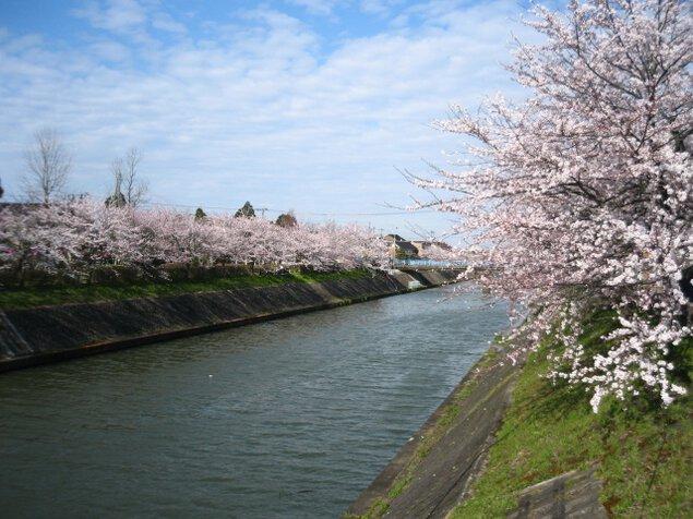 【桜・見ごろ】下条川千本桜