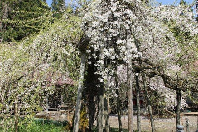 【桜・見ごろ】杉の糸桜
