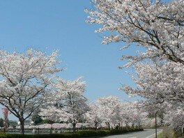 上野公園の桜(広島県)