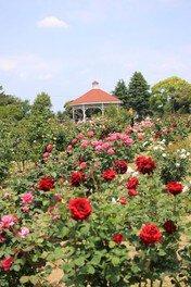 【花・見ごろ】バラ 敷島公園ばら園