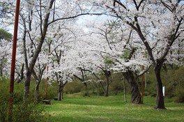 矢祭山公園の桜