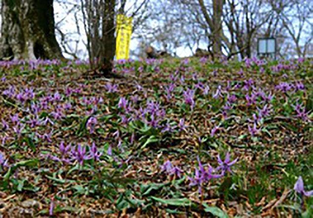 第20回筑波山頂カタクリの花まつり