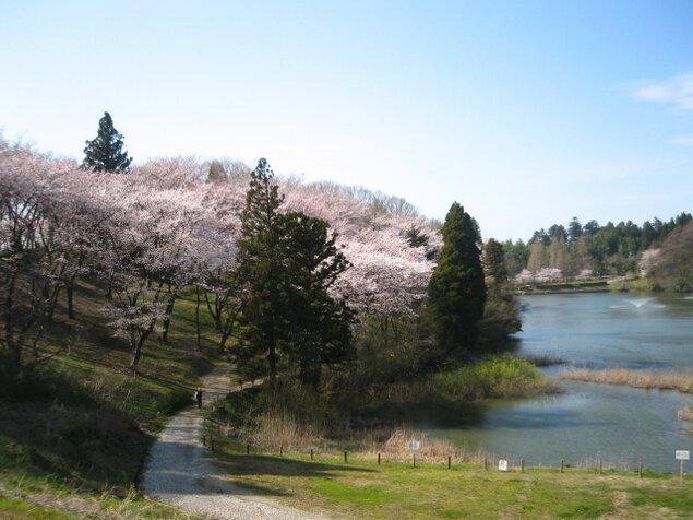 【桜・見ごろ】薬勝寺池公園