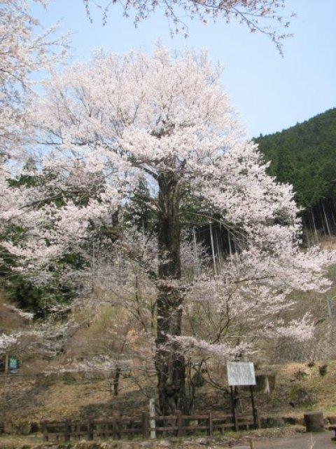【桜・見ごろ】乳児の森公園のおなみ桜