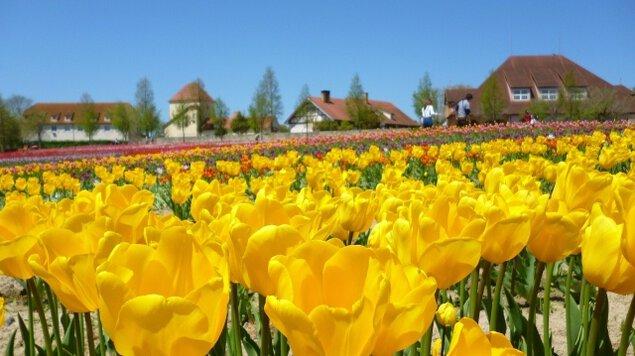 【花・見ごろ】滋賀農業公園ブルーメの丘 チューリップ<中止となりました>