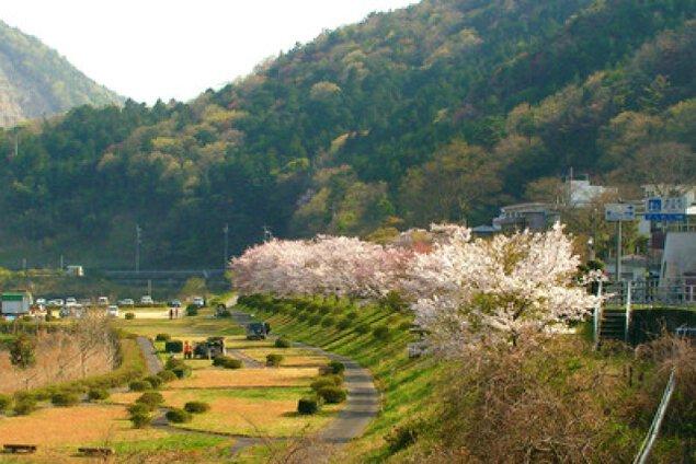 【桜・見ごろ】宮川内ダム公園