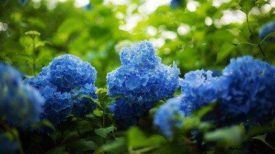 雨のさかさもみじと紫陽花