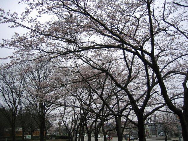 【桜・見ごろ】太閤山ランド