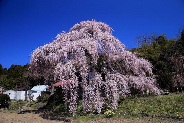 【桜・見ごろ】横田陣屋御殿桜