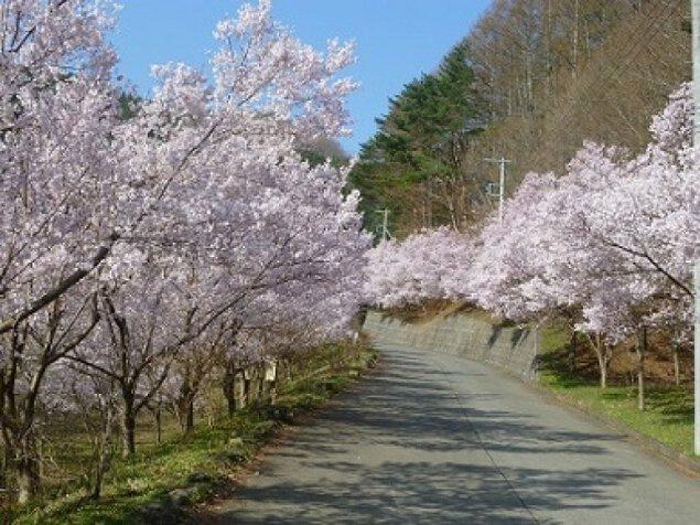 【桜・見ごろ】三ツ峠さくら公園の桜並木