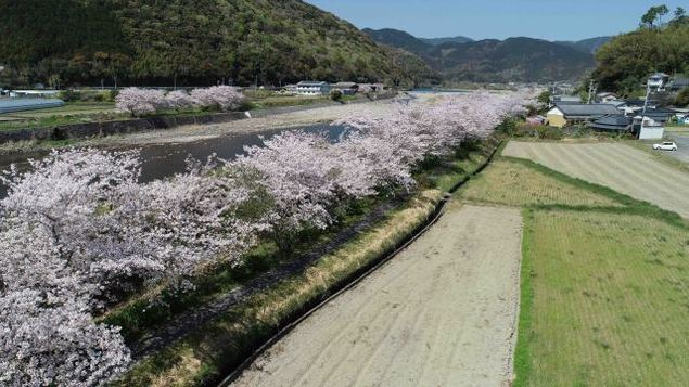【桜・見ごろ】鮎乃瀬公園