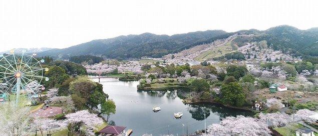 観音池公園の桜