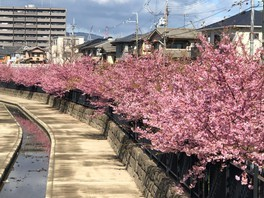 淀水路の桜