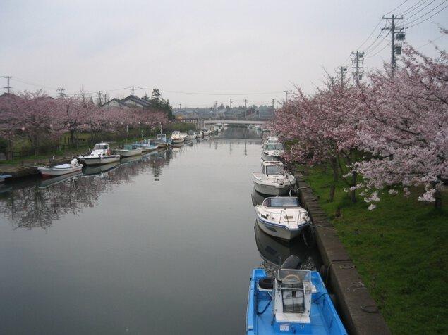 【桜・見ごろ】内川周辺