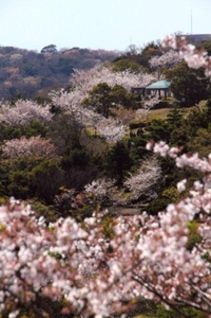 【桜・見ごろ】西部公園