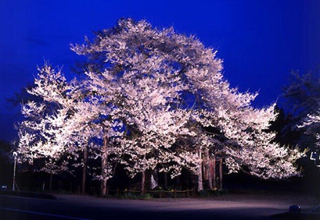 【桜・見ごろ】七ッ田の弘法桜