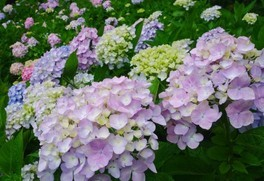 【花・見ごろ】四国村のアジサイ・アガパンサス