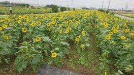 花のオアシス ひまわり畑