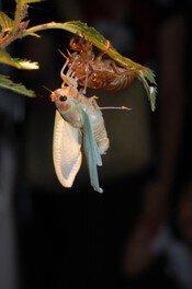 セミの羽化とカラスウリの花かんさつ会