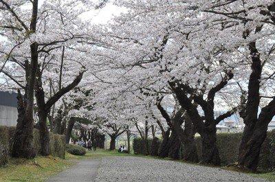 御幸公園の桜