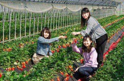 静岡県生まれのいちご、あきひめもしくは紅ほっぺが食べ放題