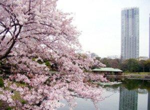 【桜・見ごろ】浜離宮恩賜庭園