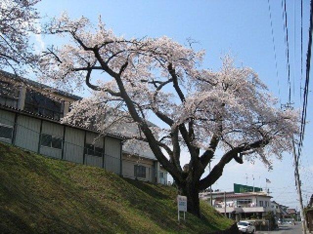 【桜・見ごろ】須賀川桐陽高校のたねまきサクラ