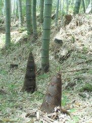南伊豆町 竹の子狩り