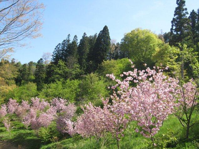 【桜・見ごろ】高照山系桜の里<中止となりました>