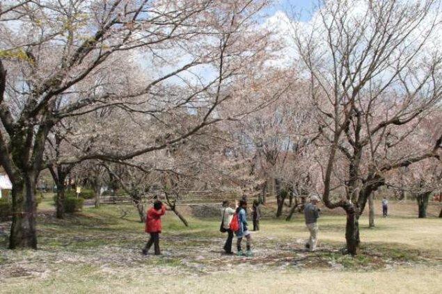 【桜・見ごろ】磯部桜川公園