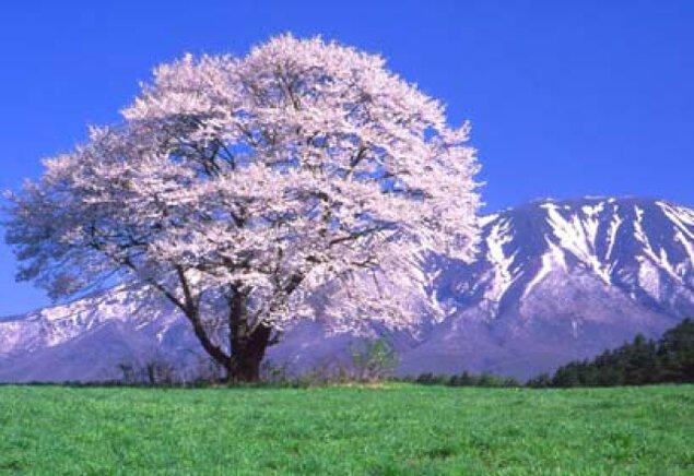 【桜・見ごろ】小岩井農場