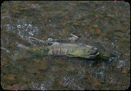 飼育係と行く鮭の遡上見学ツアー