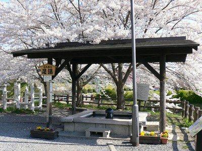 上山城・月岡公園の桜