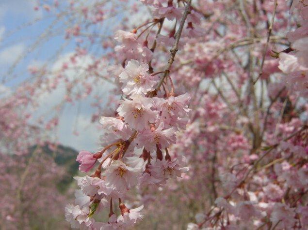 【桜・見ごろ】花面公園