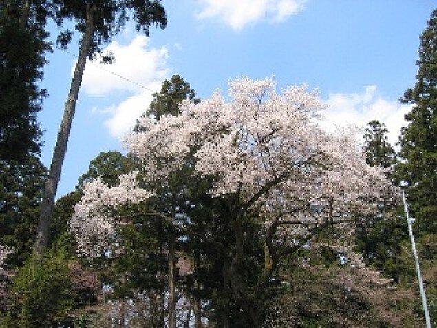 【桜・見ごろ】神炊館神社のエドヒガン