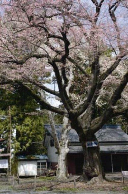 【桜・見ごろ】長者山 おとぎの桜