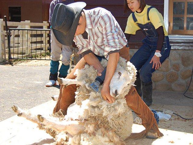 六甲山牧場 羊の一斉毛刈り
