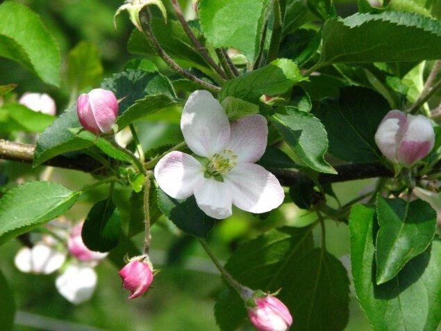 【花・見ごろ】原観光りんご園 りんごの花<中止となりました>
