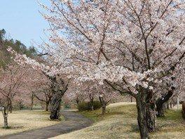 東沢バラ公園の桜
