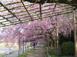鴨川公園(半木の道)の紅枝垂れ桜