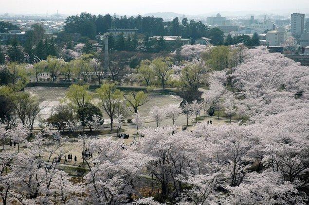【桜・見ごろ】開成山公園