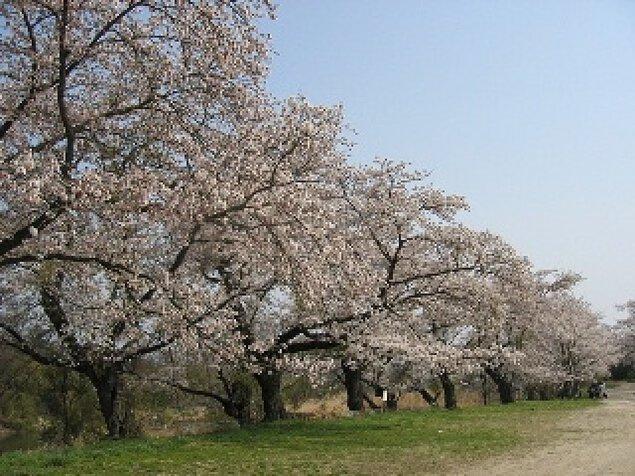【桜・見ごろ】浜田公園