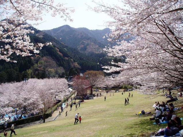 【桜・見ごろ】松阪市森林公園