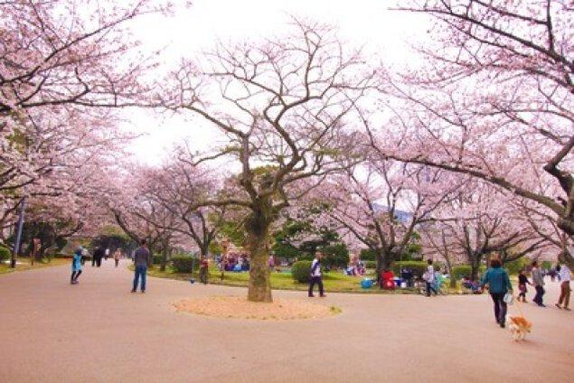 【桜・見ごろ】徳島中央公園